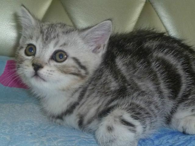 Продаю: Котята шотландцы фото2