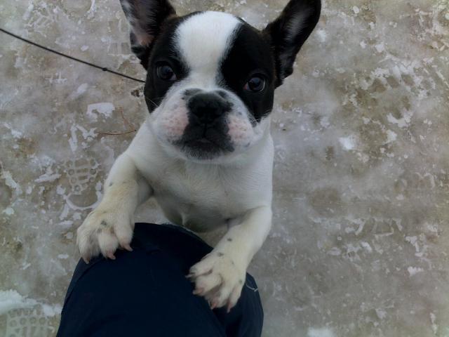 Продаю: продаю щенка французского бульдога