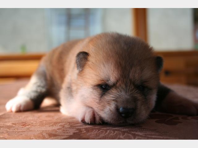 Продаю: открыто резерироание щеночков акита ину