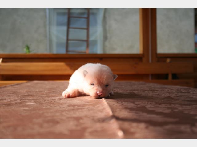 Продаю: открыто резерироание щеночков акита ину фото2
