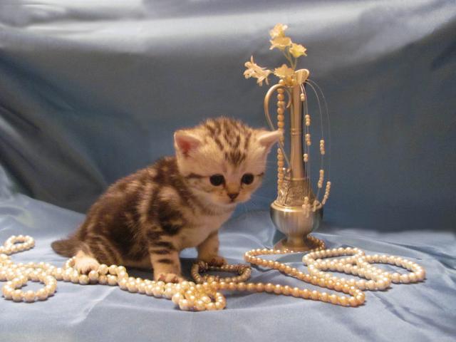 Продаю: тся(резервируются) котята