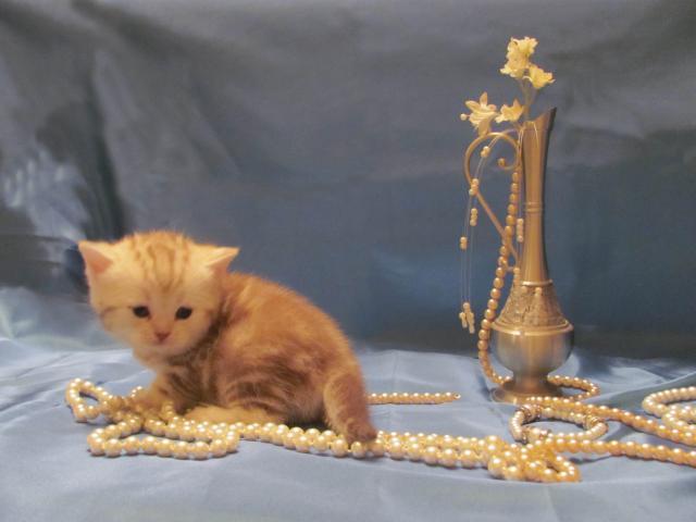 Продаю: тся(резервируются) котята фото2