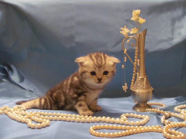 Продаю: тся(резервируются) котята фото3