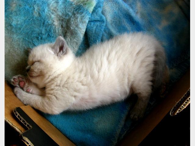 Продаю: Очаровательные британские котятки  фото2