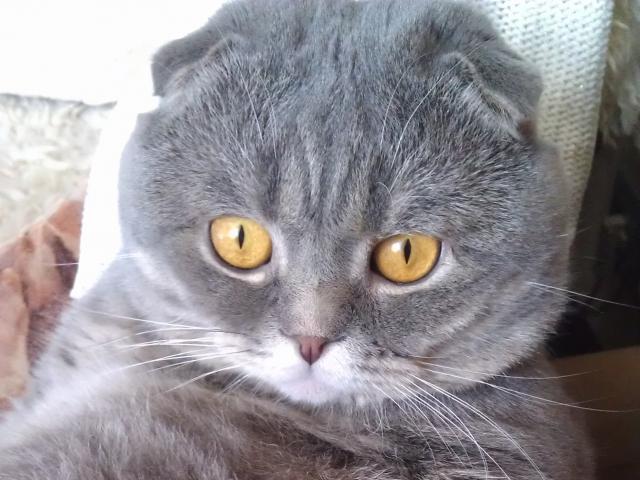 Вязка: Ищем прямоухую кошечку для нашего кота