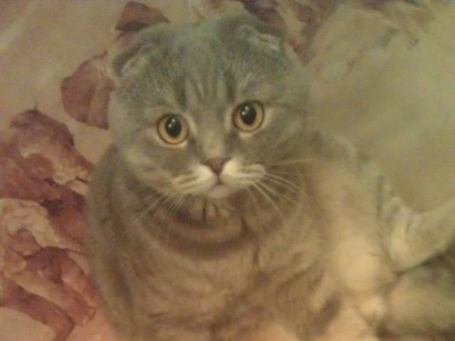Вязка: Ищем прямоухую кошечку для нашего кота фото2