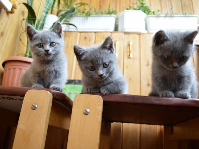 Продаю: Британские голубые котята