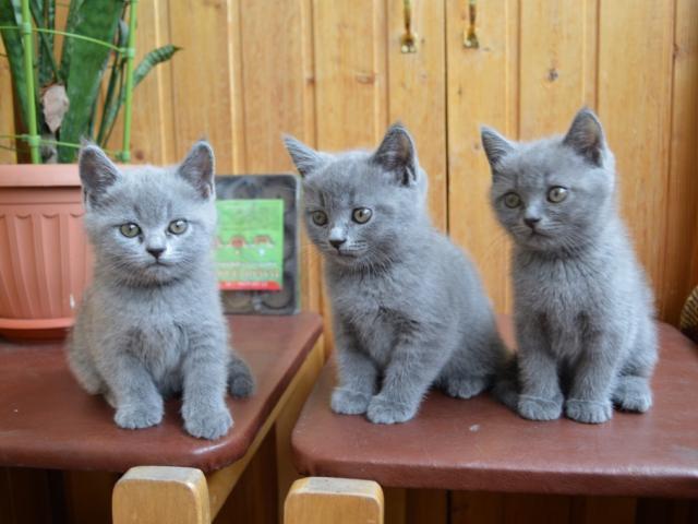 Продаю: Британские голубые котята фото2