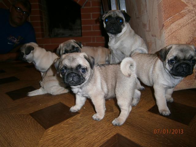 Продаю: щенки мопса фото2