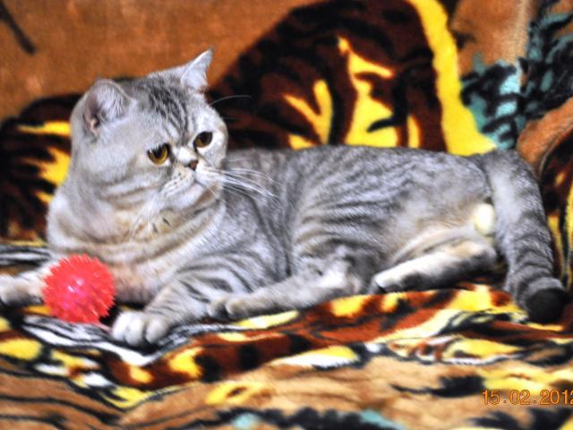Продаю: тся шотладские котята (страйт и фолд)