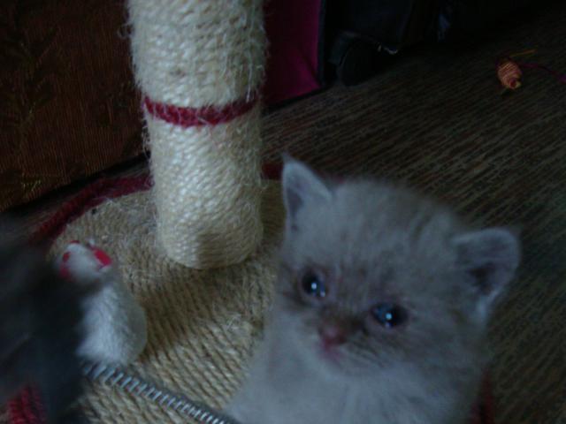 Продаю: тся шотладские котята (страйт и фолд) фото3