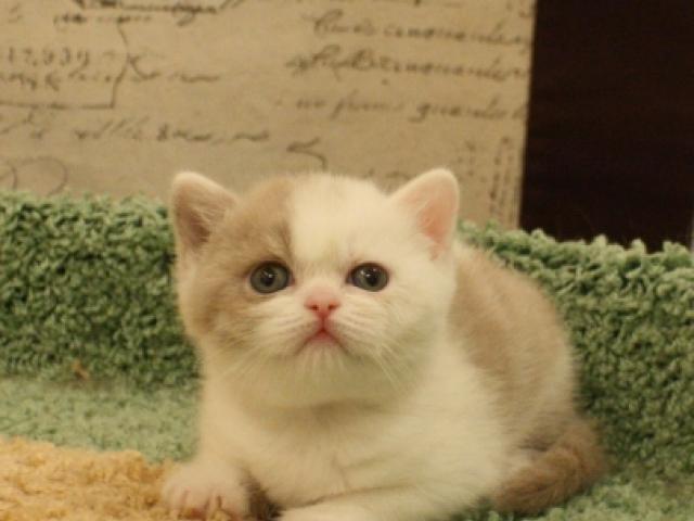 Продаю: Британская кошка окраса фавн для выставок и развед фото2