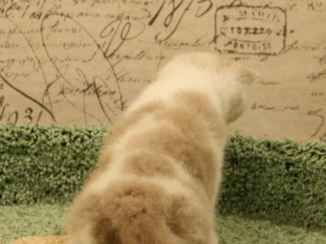 Продаю: Британская кошка окраса фавн для выставок и развед фото3