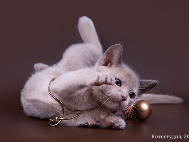 Продаю: Бурманские котята