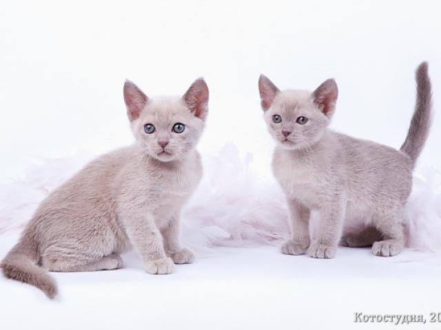 Продаю: Бурманские котята фото2