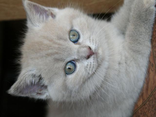 Продаю: Очаровательные котята скоттиш-страйт
