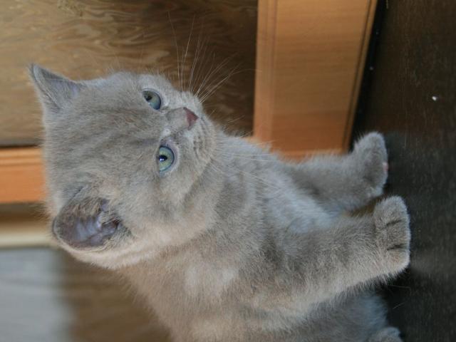 Продаю: Очаровательные котята скоттиш-страйт фото2