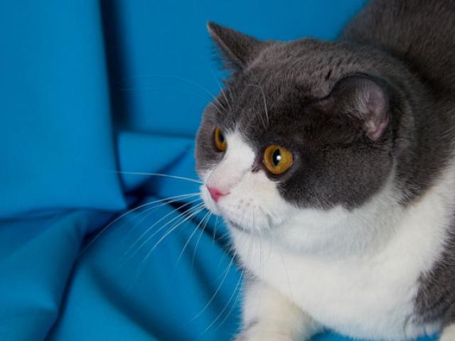 Продаю: Британские котята редкого окраса