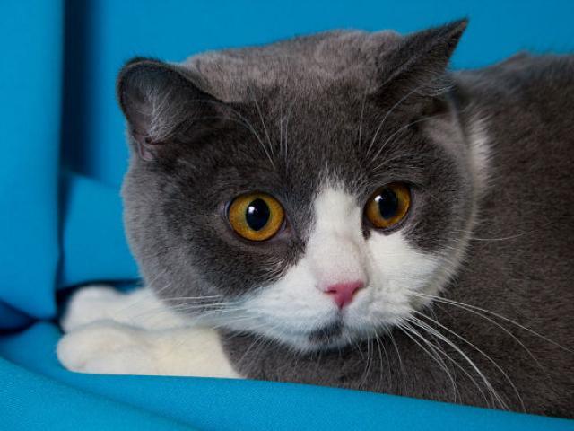 Продаю: Британские котята редкого окраса фото2