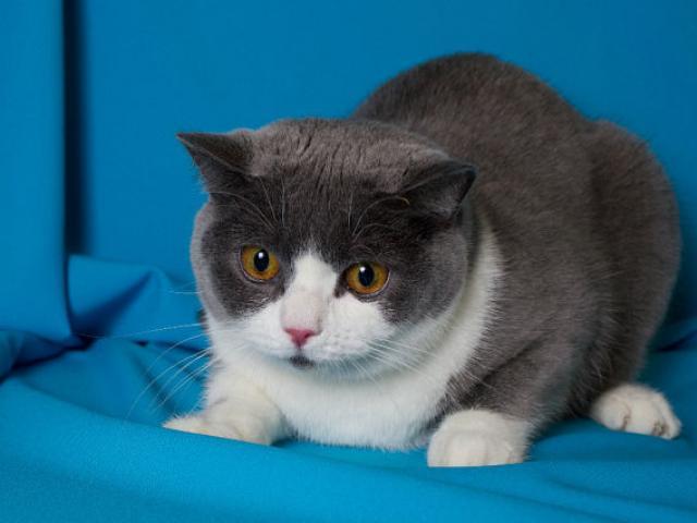 Продаю: Британские котята редкого окраса фото3