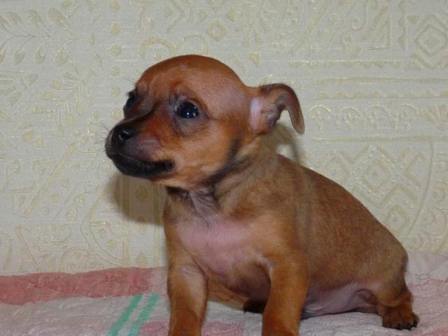 Продаю: Продается щенок русского той-терьера фото2