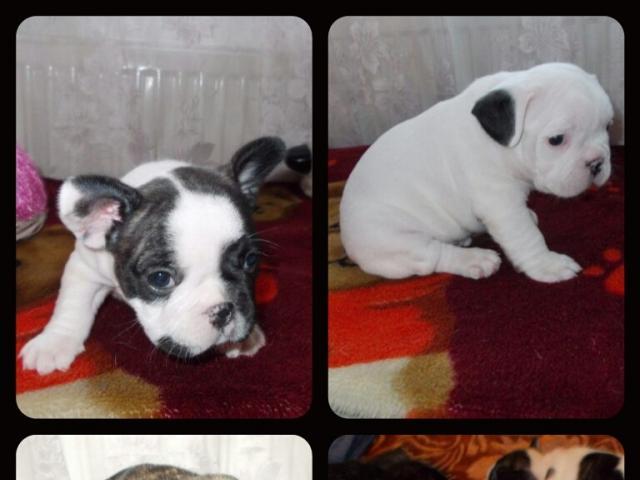 Продаю: щенки Французского бульдога фото2