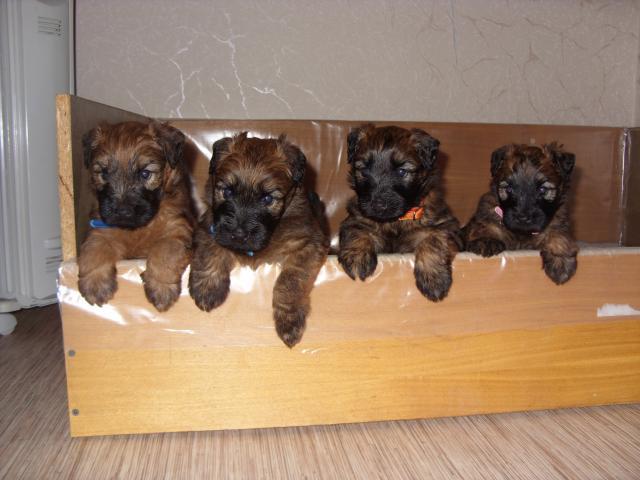 Продаю: Перспективные щенки ирландского пшеничного терьера