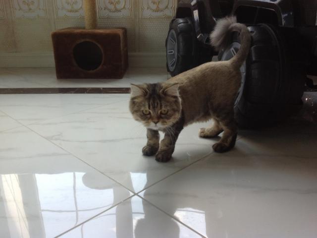 Вязка: Приглашаем кота шотладского вислоухого на вязку