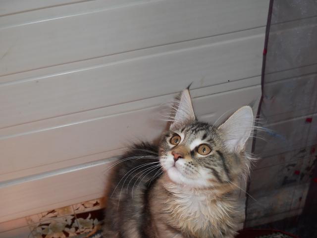Продаю: Котята мейн-кун
