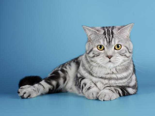 Вязка: кот для вязки, скоттиш-страйт