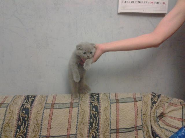 Продаю: Самые красивые котята фото3