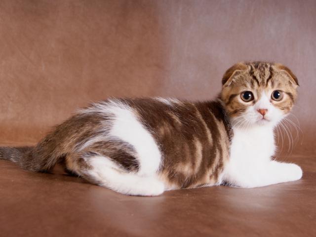 Продаю: тся котята породы шотландская вислоухая