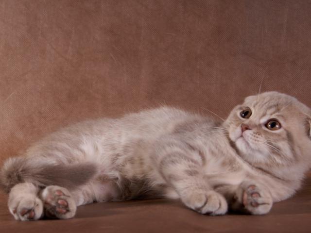 Продаю: тся котята породы шотландская вислоухая фото2