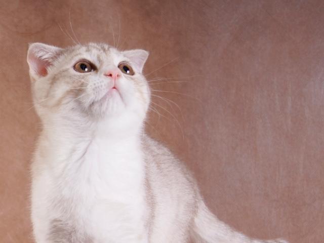 Продаю: тся котята породы шотландская вислоухая фото3