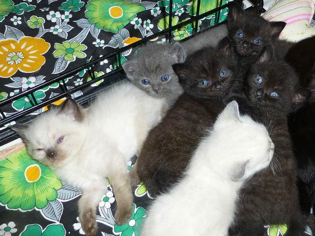 Продаю: Очаровательные, чистокровные британские котята на