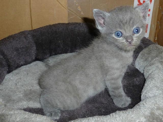 Продаю: Очаровательные, чистокровные британские котята на  фото2