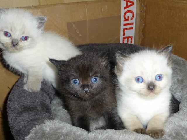 Продаю: Очаровательные, чистокровные британские котята на  фото3
