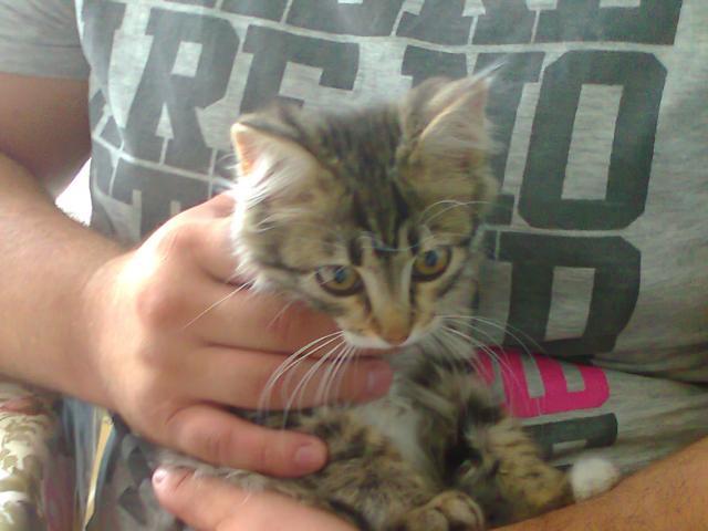 Отдам в дар: в дар кошечка-котенок сибирский
