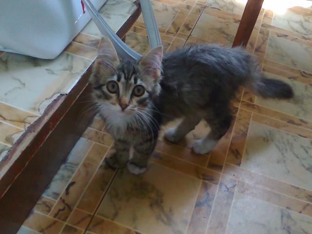 Отдам в дар: в дар кошечка-котенок сибирский фото2