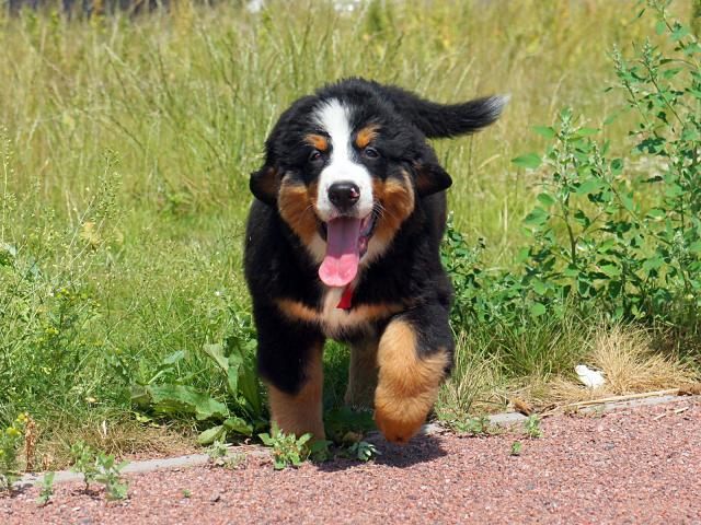 Продаю: Славные щенки бернского зенненхунда фото2