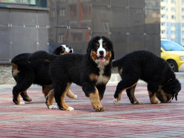 Продаю: Славные щенки бернского зенненхунда фото3