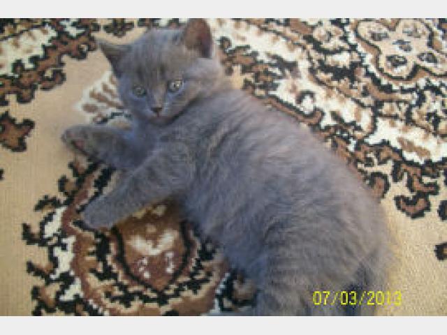 Продаю: Потрясающие британские котята ищут свою семью фото2