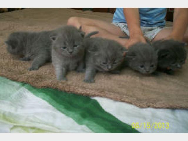 Продаю: Потрясающие британские котята ищут свою семью фото3
