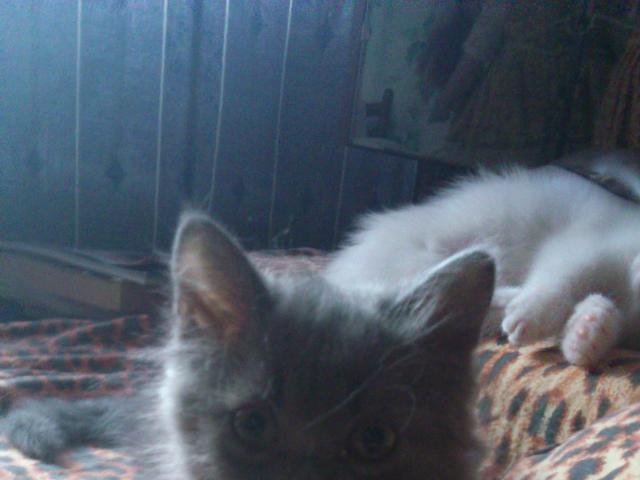 Отдам в дар: Пушистый котёнок фото2