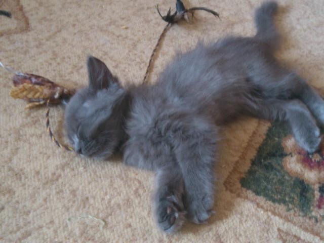 Отдам в дар: Пушистый котёнок