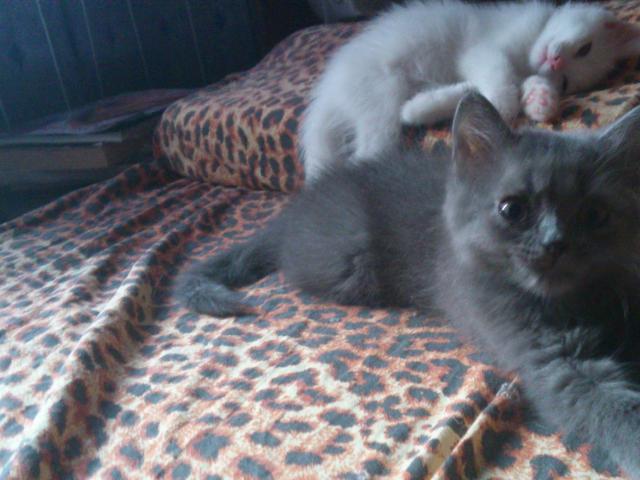 Отдам в дар: Пушистый котёнок фото3
