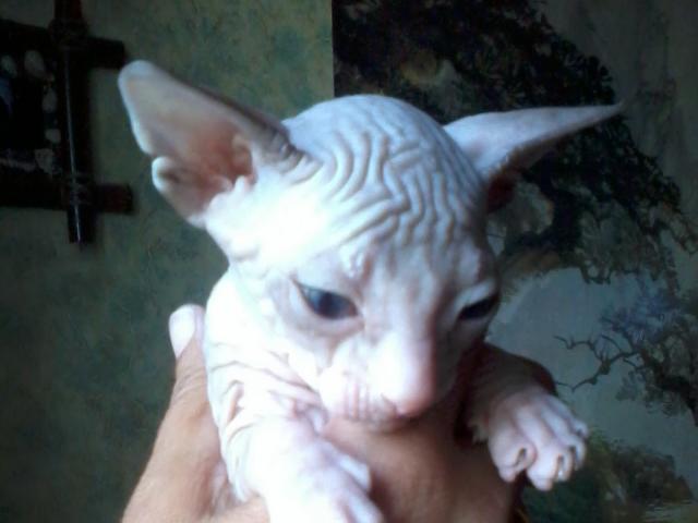 Продаю:  котят породы донской сфинкс, с документами фото2