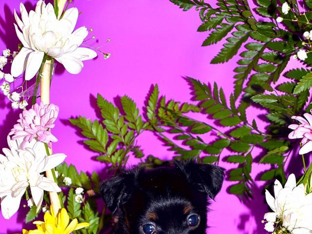 Продаю: Элитные щенки длинношерстного той терьера фото2