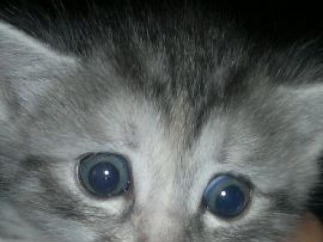 Отдам в дар: Серо-полосатый котенок девочка