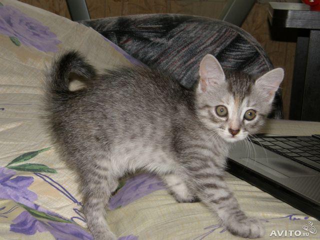 Отдам в дар: Серо-полосатый котенок девочка фото3